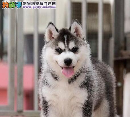 实体店低价促销赛级哈士奇幼犬真实照片包纯