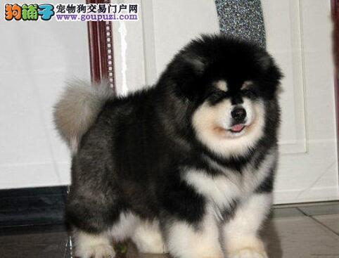 出售纯种双十字阿拉斯加雪橇犬 可办理血统证书