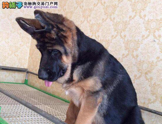 极品德国牧羊犬幼犬、公母均有多只选择、微信咨询看狗