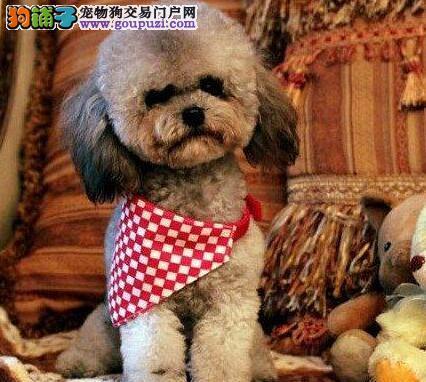 火爆出售毛色佳纯血系的南昌贵宾犬 附近朋友上门选