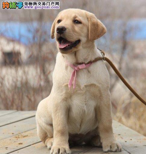 聪明活泼拉布拉多犬出售血统纯正保健康自家繁殖出售