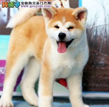 CKU犬舍认证出售高品质秋田犬冠军级血统品质保障