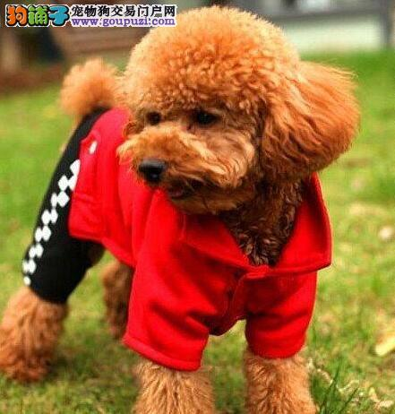 徐州犬舍低价出售巨型贵宾犬 我们承诺终身售后