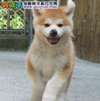 极品优秀日系福州秋田犬低价出售 所有犬只均保证健康