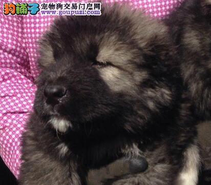 精品大骨架南京高加索幼犬出售 健康一流 品相一流