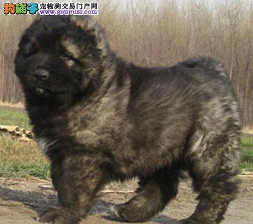 狗场出售顶级护卫犬高加索幼犬 来场子可看到狗父母