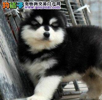 高品质的北京阿拉斯加犬找爸爸妈妈包养活送用品
