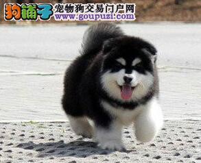 出售高端阿拉斯加犬,自家繁殖保养活,微信咨询看狗