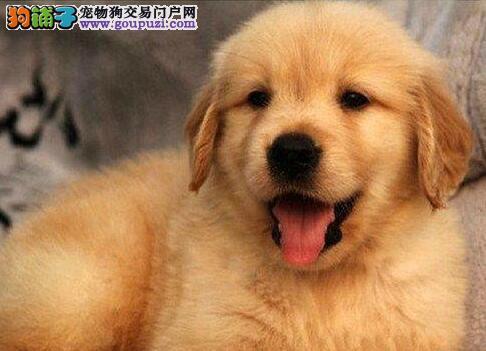 转让超大毛量超大头版的深圳金毛犬 保障品质血统