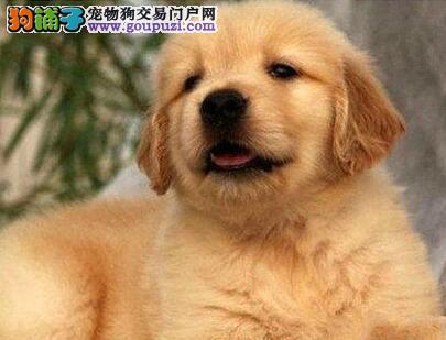 深圳正规狗场热销优秀金毛犬 附近和周边城市可送到家