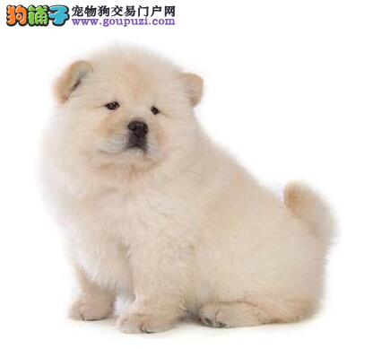 松狮幼犬 低价出售了 纯种健康 可见父母兄弟姐妹