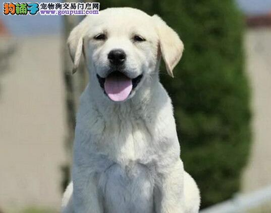 出售血统纯正品质极佳的绍兴拉布拉多犬 非诚勿扰