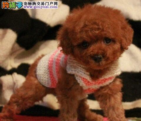 出售精品贵宾犬、CKU认证犬舍、签协议可送货