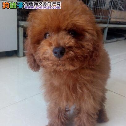 广州狗场繁殖出售贵宾犬 疫苗驱虫已做好保证健康