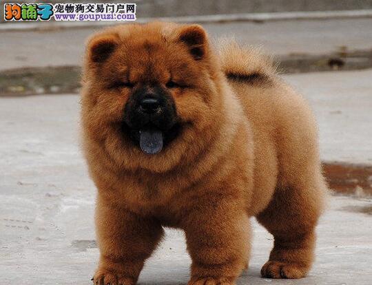 盘锦出售松狮幼犬品质好有保障签订协议包细小犬瘟热