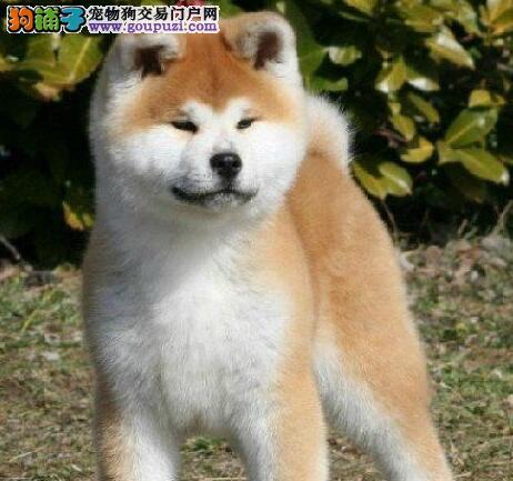 出售多只优秀的秋田犬郑州可上门可直接微信视频挑选