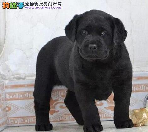 拉布拉多幼犬便宜出售