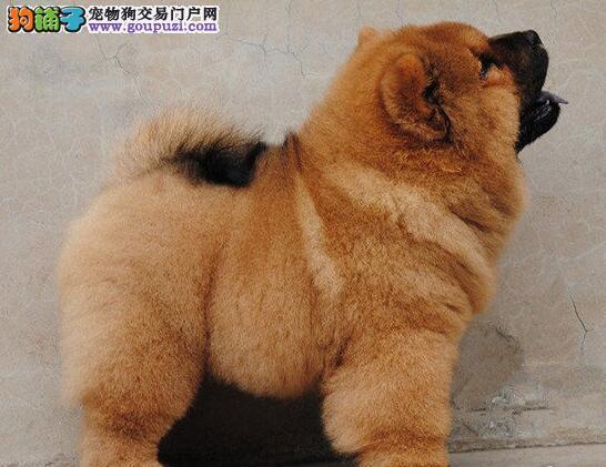 热销胖呼呼毛绒绒绵阳松狮犬保纯种保健康