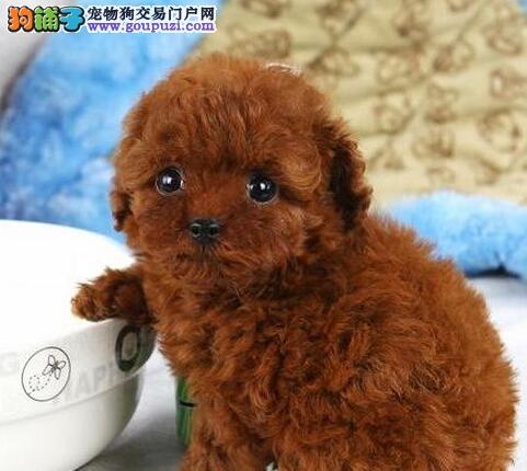 泉州养殖基地直销颜色齐全的泰迪犬 品质血统保证