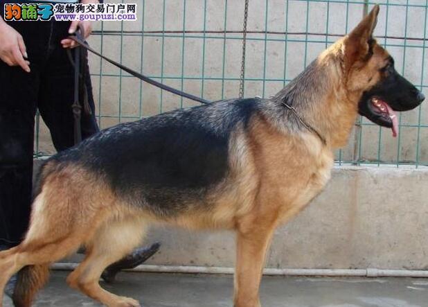 军犬警犬纯种德国黑背幼犬德牧绝对漂亮