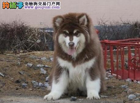哈尔滨特价黑色红色阿拉斯加幼犬