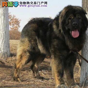 纯种高加索幼犬 品质优良血统纯正 质保全国送货