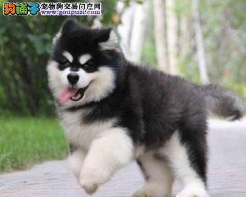 促销价格出售阿拉斯加雪橇犬 欢迎来贵阳上门挑选