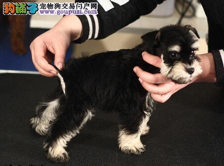 白胡子雪纳瑞 幼犬椒盐雪纳瑞 家养纯种雪纳瑞出售