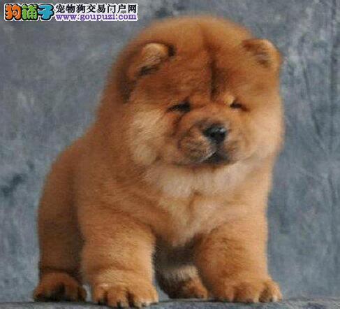 宁波出售纯种松狮犬 超可爱松狮宝宝出售 包健康质保