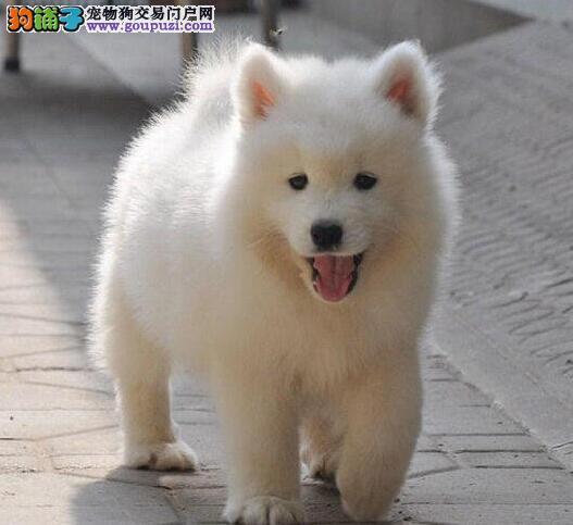 顶级优秀的纯种重庆萨摩耶热销中微信选狗直接视频