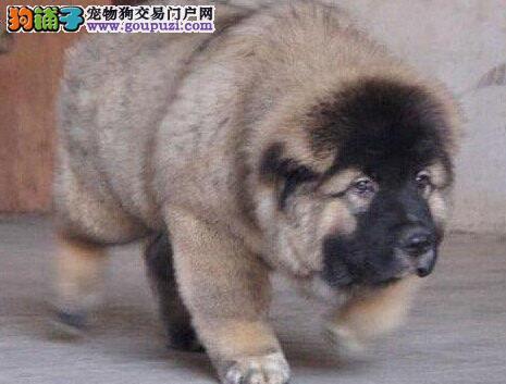 广州繁殖场出售赛级品质的高加索犬 看家护院的好帮手