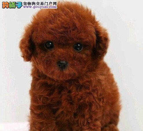 汕头名牌基地直销泰迪犬 建议大家上门看狗选购爱犬