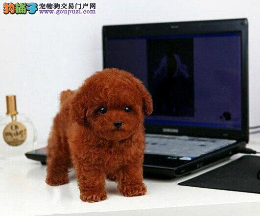 三亚养殖场直销完美品相的泰迪犬血统证书芯片齐全