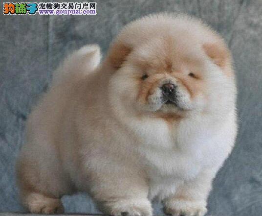 晋中最大的养殖场出售松狮犬 可以视频看狗预定爱犬
