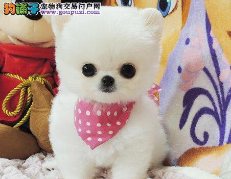 出售博美犬幼犬品质好有保障包养活送用品