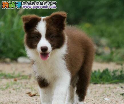 家养好品质深圳边境牧羊犬转让支持送货上门及预定