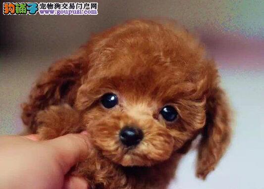郑州实体店低价促销赛级贵宾犬幼犬欢迎您的光临