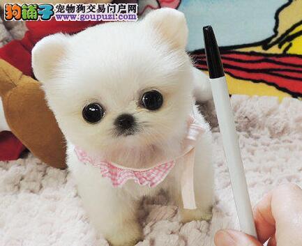 出售家养哈多利球型郑州博美犬 品种好可上门看狗