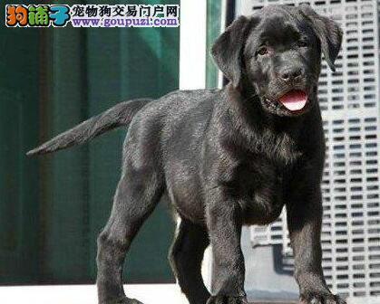 自家繁殖纯种南宁拉布拉多犬出售后保障全面