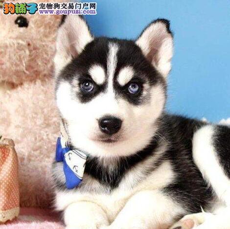 宝石蓝眼睛的淄博哈士奇幼犬热销中 不纯十倍赔偿