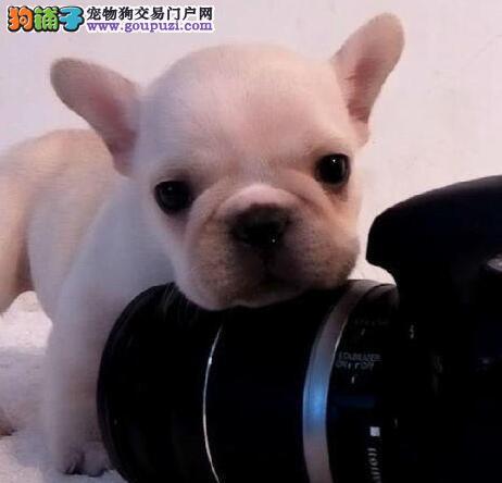 国际注册犬舍 出售极品赛级法国斗牛犬幼犬微信咨询看狗狗照片