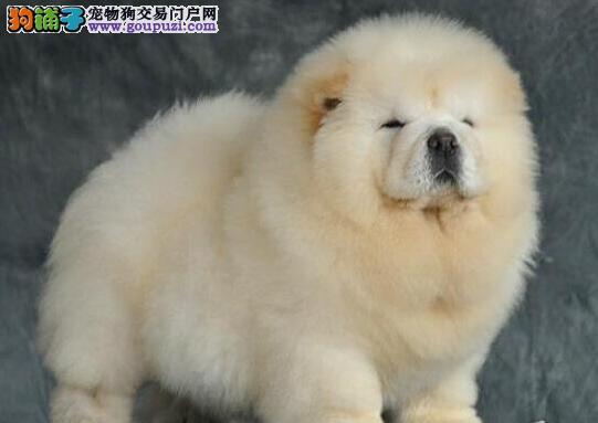 CKU认证犬舍 专业出售极品 松狮幼犬签正规合同请放心购买