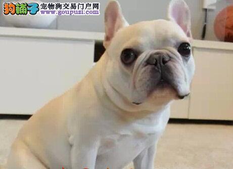 徐州知名犬业出售大鼻筋螺旋尾巴的法国斗牛犬