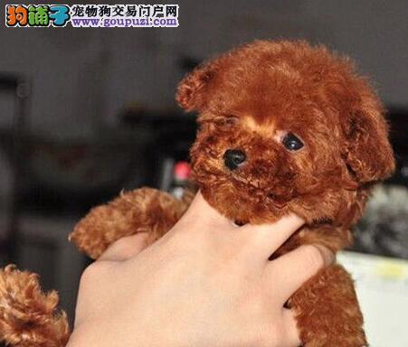 冠军级后代贵宾犬,专业繁殖包质量,提供养狗指导
