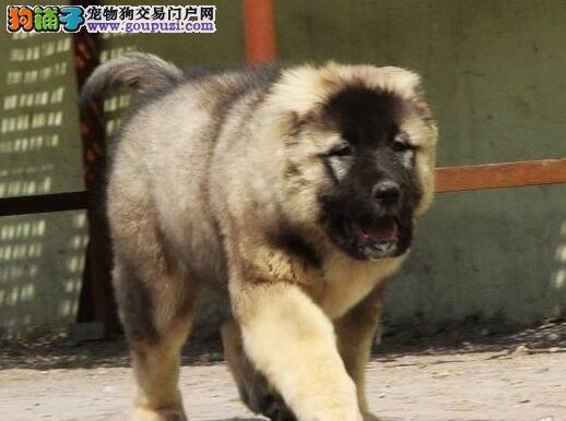 大骨架俄系洛阳高加索犬直销中 可送货可刷卡有保障
