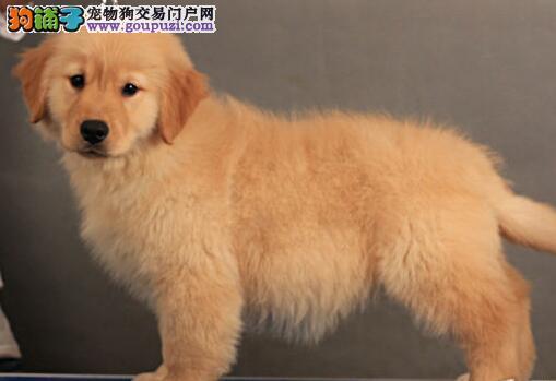 郑州养殖场直销完美品相的金毛CKU认证品质绝对保障