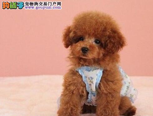 保证健康纯种的南京泰迪幼犬出售 可以签订购犬协议