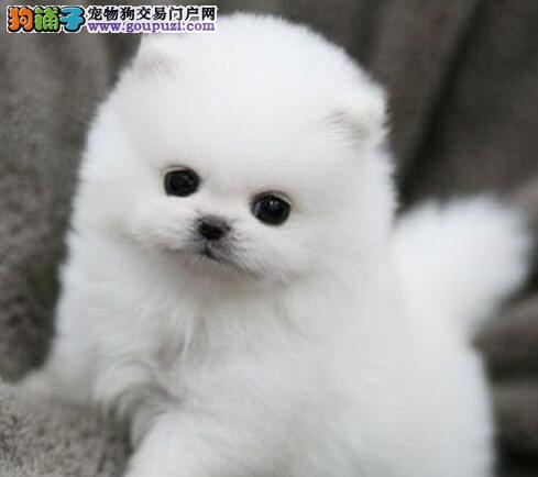 徐州正规狗场低价直销出售哈多利球形血系的博美犬