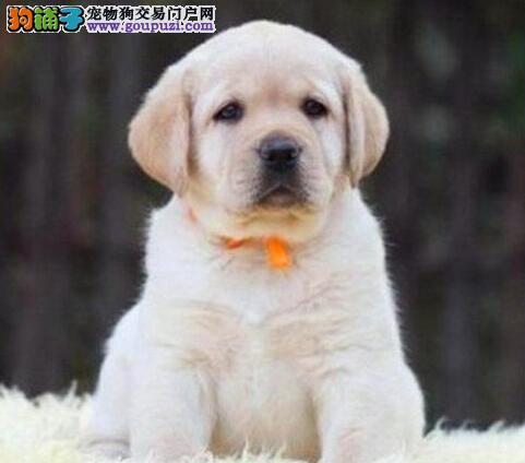 出售品质高血统纯的绍兴拉布拉多犬 可微信视频看狗