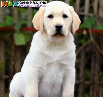 出售骨骼健硕身体健康品相极佳的徐州拉布拉多犬